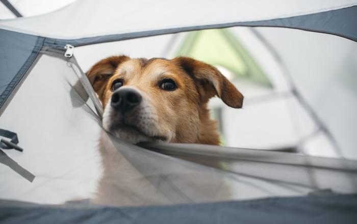 Auch auf dem Campingplatz fühlt sich unser Hund total wohl. (Foto: shutterstock - Pawle)